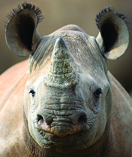 White & Black Rhino